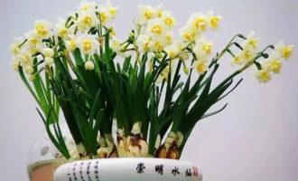 你种的崇明水仙谢了?教你让它再开花!