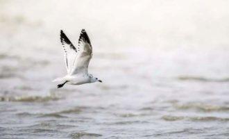 时隔多年,崇明东滩鸟类国家级自然保护区再度发现国家一级保护动物-遗鸥